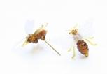Špendlík Včelka